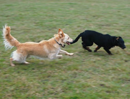 Aggression to puppies